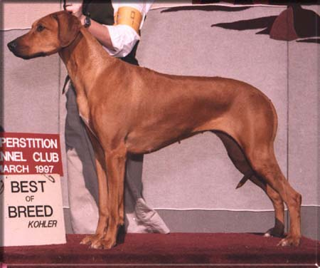 An award winning Rhodesian Ridgeback dog.